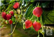 草莓酒的酿制方法