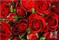玫瑰花的功效,有什么药用价值呢?