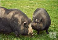 猪肚莲子汤的功效