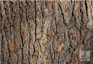 山核桃树皮的功效与作用是什么呢?