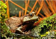 【川菜天下】青花椒牛蛙的做法