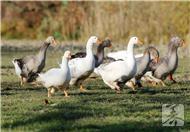 四川烧鸭的做法及配方