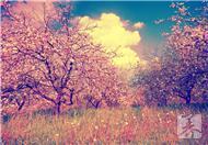 春饮四养生花:桃花养颜 玫瑰解郁 月季调经