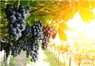 提子与葡萄的区别