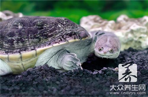 Can eczema have soft-shelled turtle?