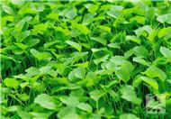 解析:益母草的功效与作用