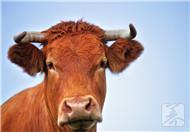 吃牛蛋牛鞭能壮阳吗?
