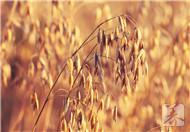 燕麦是碱性食品吗