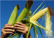 玉米须的药用价值都有哪些?