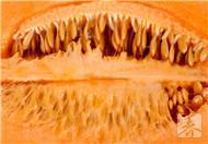 香瓜的功效与作用,吃香瓜有利于减肥