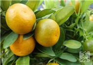 金橘缓解扁桃体炎有奇效