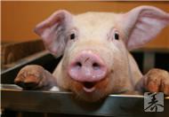 猪耳的营养价值及功效有哪些