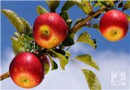 苹果不能和什么一起吃呢?