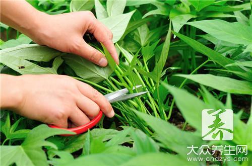 Can yam leaf eat