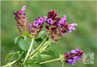 夏枯草的功效与作用及食用方法