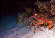 熟的龙虾能放多久多久