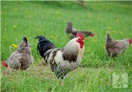 家禽生病可以用白酒治疗