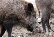 猪胰子的功效与作用