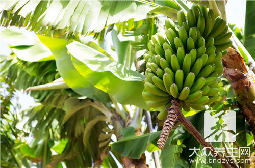 香蕉可以去湿吗?