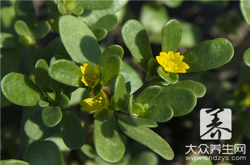 Can purslane treat diarrhoea