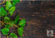 红豆杉能治什么病