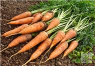 怎样储存胡萝卜