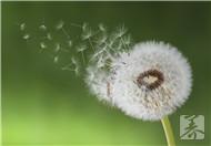 ?#21387;?#33521;金银花胎菊