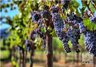 葡萄什么性水果