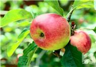 蘋果酵素的作用有哪些