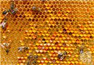 蚂蜂窝泡酒有什么作用