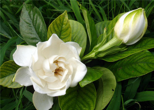 Be pregnant can eat Cape jasmine to spend