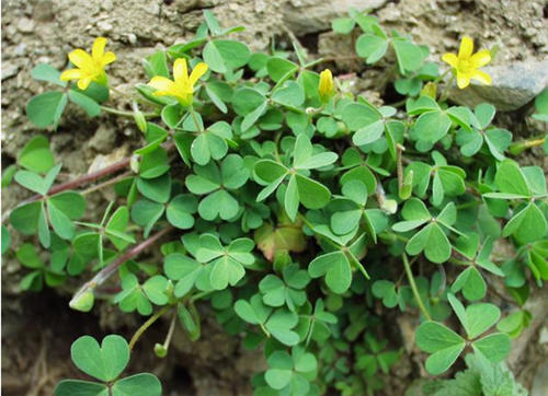 Be pregnant can eat creeping oxalis